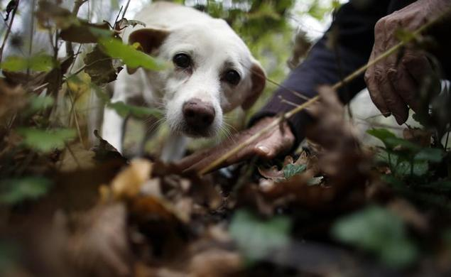 66岁的松露猎人Ezio Costa在2013年11月9日在意大利西北部阿尔巴附近的Monchiero用木头寻找松露与他的狗Jolly.REUTERS-Stefano Rellandini