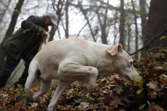 66岁的松露猎人Ezio Costa于2013年11月9日在意大利西北部Alba附近的Monchiero树林中与他的狗Jolly一起寻找松露.REUTERS-Stefano Rellandini