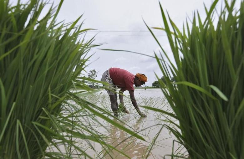 A farmer plants rice saplings in a paddy field against the backdrop of pre-monsoon clouds in Amritsar June 13, 2013. REUTERS/Munish Sharma/Files