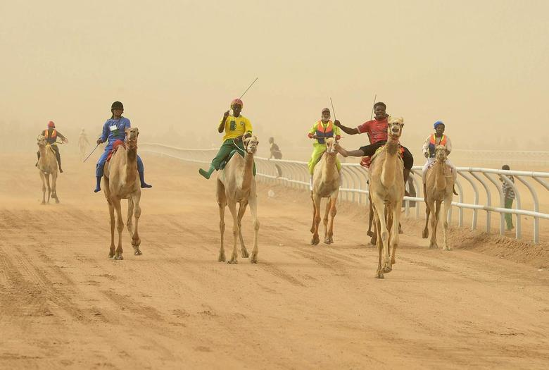 Jockeys race to the finish line during the 20km camel race at the opening of the Janadriya festival near Riyadh, in this April 3, 2013 file photo. REUTERS/Faisal Al Nasser/Files