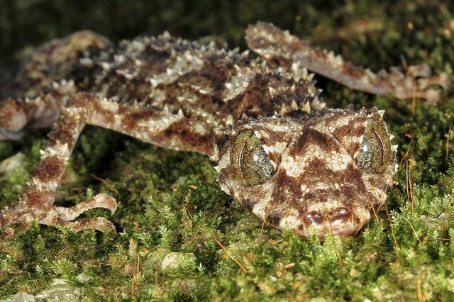 A leaf-tailed gecko (Saltuarius eximius) from remote northern Australia is shown in this undated handout photo provided by the International Institute of Species Exploration and the State University of New York (SUNY) College of Environmental Science and Forestry on May 21, 2014.  REUTERS/SUNY College of Environmental Science and Forestry/Handout via Reuters