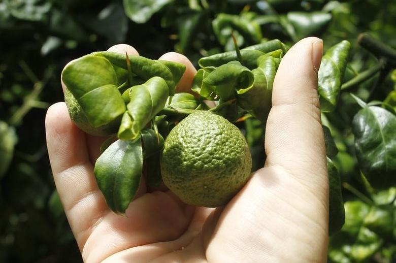 Citrus affected by 'greening', an insect-borne bacterial disease is shown in a laboratory at the U.S. Department of Agriculture's U.S. Horticultural Research Laboratory in Fort Pierce, Florida September 26, 2010.  REUTERS/Joe Skipper