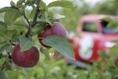 An apple orchard of the Vermont Hard Cider Company is seen in Middlebury, Vermont in this undated picture provided by the Vermont Hard Cider Company.   REUTERS/Vermont Hard Cider Company/Handout via Reuters