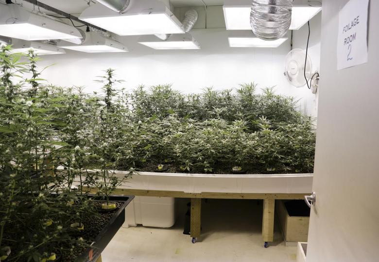 Marijuana plants are pictured in a grow room during a tour at the Sea of Green Farms in Seattle, Washington June 30, 2014.  REUTERS/Jason Redmond