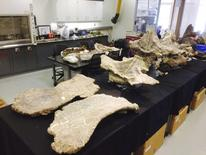 Bones of Dreadnoughtus schrani are seen in Professor Kenneth Lacovara's fossil lab at Drexel University in Philadelphia, Pennsylvania in this undated photo released on September 3, 2014.  REUTERS/Kenneth Lacovara/Drexel University/Handout via Reuters