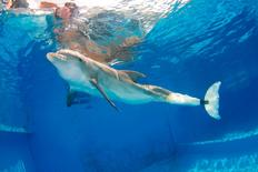 Winter, a dolphin who learned to swim with a prosthetic tail, is seen in his tank at the Clearwater Marine Aquarium in Clearwater, Florida, in this undated handout picture. REUTERS/Clearwater Marine Aquarium/Handout via Reuters