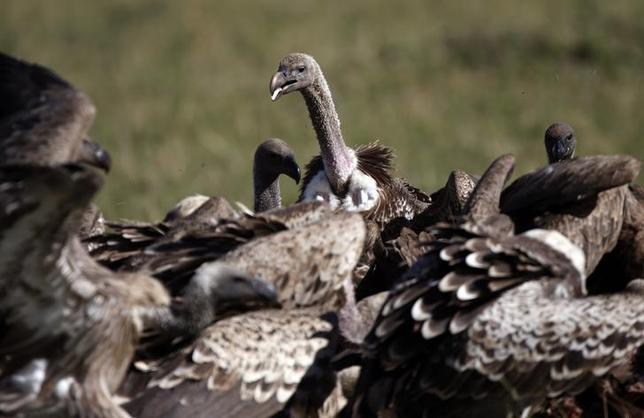 Vulture Eating Flesh
