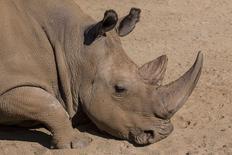 Imagen de archivo del rinoceronte blanco Angalifu en el zoológico de  San Diego, dic 15 2014. Uno de los apenas seis rinocerontes blancos del norte que quedaban en el mundo murió el fin de semana en un zoológico de San Diego, Estados Unidos, lo que acerca a la especie a la extinción, dijeron al lunes autoridades. REUTERS/Ken Bohn/San Diego Zoo/Handout via Reuters Imagen para uso no comercial, ni ventas, ni archivos. Solo para uso editorial. No para su venta en marketing o campañas publicitarias. Esta fotografía fue entregada por un tercero y es distribuida, exactamente como fue recibida por Reuters, como un servicio para clientes.