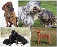 A combination photo shows the four dog breeds, shown clockwise from top left, which the American Kennel Club (AKC) has recognized: the Boerboel, the Bergamasco, the Cirneco dell'Etna and the Spanish Water Dog, in these photos released on December 18, 2014.   REUTERS/Courtesy AKC/Handout