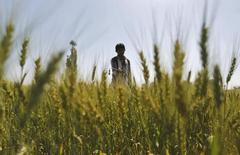 Фермер вносит удобрения на пшеничном поле в окрестностях индийского города Ахмедабад 8 февраля 2013 года. Ориентированные на экспорт российские производители минеральных удобрений, чей бизнес основан на постоянно растущем мировом спросе на продовольствие, к финалу года уже начали снимать финансовые сливки с ослабевшего рубля. REUTERS/Amit Dave