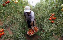 Un trabajador recolectando tomates en un huerto en Salto, Brasil, abr 29 2013. El Banco Interamericano de Desarrollo (BID) dijo el lunes que espera que América Latina y el Caribe crezca un 2,2 por ciento en 2015, que se compara con la expansión de 1,3 por ciento del año pasado, la más baja desde la crisis financiera.  REUTERS/Paulo Whitaker