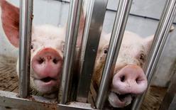Imagen de archivo de unos cerdos en una granja, ago 12 2014. Reguladores australianos aprobaron una oferta de la filial estadounidense del frigorífico brasileño JBS, el mayor productor mundial de carne bovina, para adquirir la firma local Australian Consolidated Food Holdings Pty Ltd (Primo) por una suma no revelada, dijo el miércoles el secretario del Tesoro Joe Hockey. REUTERS/Ilya Naymushin