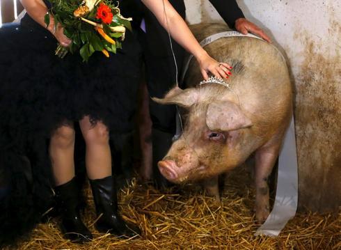 The prettiest pig