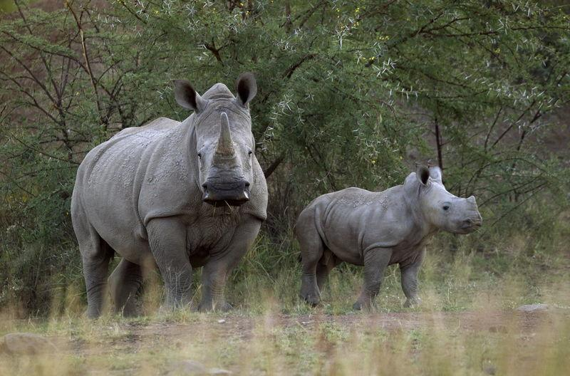 Out of Africa? Texans offer sanctuary to endangered rhinos