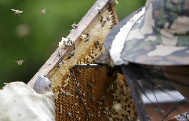Beekeper Roman Linhart installs heat sensors to a honeycomb from a thermosolar hive in Chrudim May 25, 2015.  REUTERS/David W Cerny