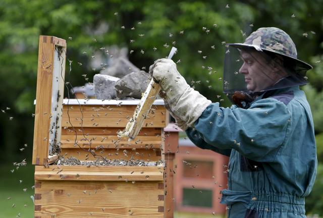 Beekeper Roman Linhart checks a honeycomb from a thermosolar hive in Chrudim May 25, 2015. REUTERS/David W Cerny