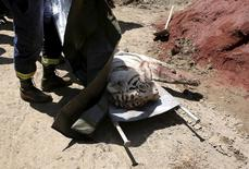 A white tiger, that had escaped from its enclosure during flooding, lies on the stretchers after it was killed by police in Tbilisi, Georgia, June 17, 2015. REUTERS/Stringer