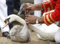 A swan and a cygnet are tagged during the annual Swan Upping census along the river Thames, at Staines-on-Thames, southern England, Britain, July 20, 2015. REUTERS/Peter Nicholls