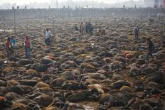 "Sacrificed buffalos lie on the ground of an enclosed compound during the sacrificial ceremony of the ""Gadhimai Mela"" festival held in Bariyapur November 28, 2014. REUTERS/Navesh Chitrakar"