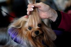 Skip, a Yorkshire Terrier, is groomed in the benching area before judging at the 2016 Westminster Kennel Club Dog Show in the Manhattan borough of New York City, February 15, 2016. REUTERS/Mike Segar