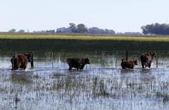 Unas vacas pastando en un terreno inundado en Bolívar, Argentina, sep 10, 2014. Argentina declaró el viernes una emergencia agropecuaria en seis provincias como consecuencia de abundantes lluvias que causaron inundaciones en campos dedicados a la agricultura y la ganadería, entre otras actividades.    REUTERS/Enrique Marcarian