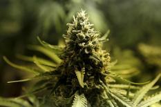 Planta Cannabis é vista na loja Ganja Farms em Bogotá, Colômbia. 10 de fevereiro de 2016. REUTERS/John Vizcaino
