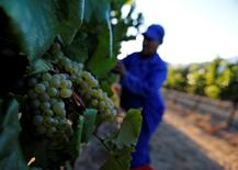 Workers harvest grapes at the La Motte wine farm in Franschoek near Cape Town, South Africa in this picture taken January 29, 2016. REUTERS/Mike Hutchings