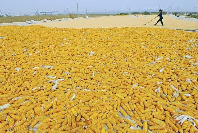 A farmer dries newly harvested corn cobs near her field in Zhuliang village of Qingzhou, Shandong province in this September 27, 2013 file photo. REUTERS/China Daily/Files