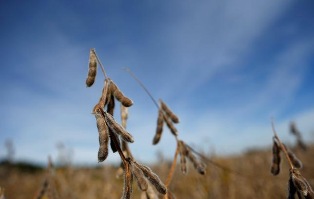 Soybeans are seen in a field waiting to be harvested in Minooka, Illinois, September 24, 2014. REUTERS/Jim Young/File Photo