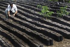 Un cafetal recién plantado en El Paraíso, Honduras, feb 4, 2011. Las exportaciones de café de Honduras se derrumbaron en junio un 18.5 por ciento interanual debido al contrabando, y los exportadores aseguraron el viernes que el país no cumplirá su pronóstico de ventas al exterior en la actual temporada.   REUTERS/Edgard Garrido