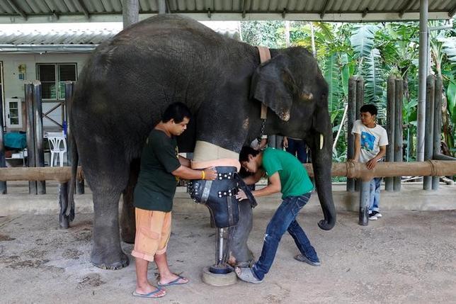6月29日、タイ北部ラムパーン県で、地雷により片足を失った雌のゾウ「モシャ」に愛護団体から最新式の義足が贈られた(2016年 ロイター/Athit Perawongmetha)