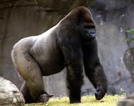 Bantú, en la foto de archivo, era el único gorila macho en México de una especie en peligro de extinción y murió el miércoles de un paro cardiorespiratorio a causa de  los efectos de un sedante que le fue aplicado para ser trasladado de un zoológico a otro para formar una familia.