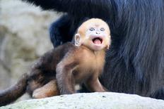 François' Langer, one of the world's rarest monkeys, born in July at Sydney's Taronga Zoo.   REUTERS/Paul Fahy/Taronga Zo