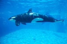 An Orca killer whale is seen underwater at the animal theme park SeaWorld in San Diego, California March 19, 2014.  REUTERS/Mike Blake