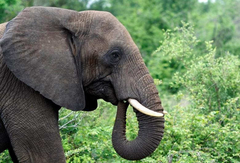 A bull elephant grazes in South Africa's Kruger National Park, December 10, 2009. REUTERS/Mike Hutchings/File Photo