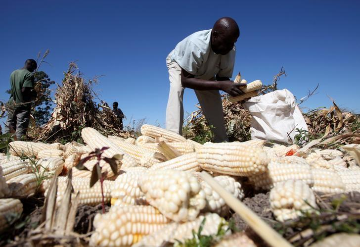 Swap Maize For Millet Zimbabwe S Farmers Just Say No