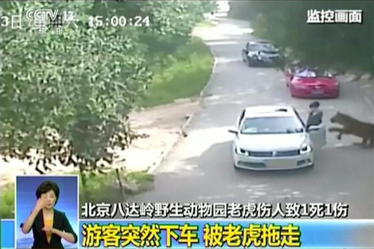 A tiger (R) approaches a woman before attacking her, after she exited a car in a Beijing wildlife park, China, July 23, 2016, in this still image taken from video. Video taken July 23, 2016. Courtesy CCTV/via Reuters TV/File Photo