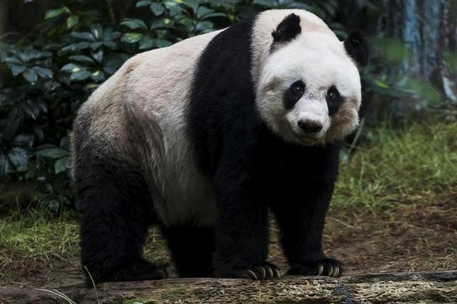 10月17日、飼育されているジャイアントパンダとしては世界最高齢の38歳だった「佳佳(ジアジア)」が、健康状態が急速に悪化したため、安楽死の処置を受けた。飼育していた香港のテーマパーク「海洋公園」が16日明らかにした。写真は昨年7月撮影で36歳の時の佳佳(2016年 ロイター/Tyrone Siu)