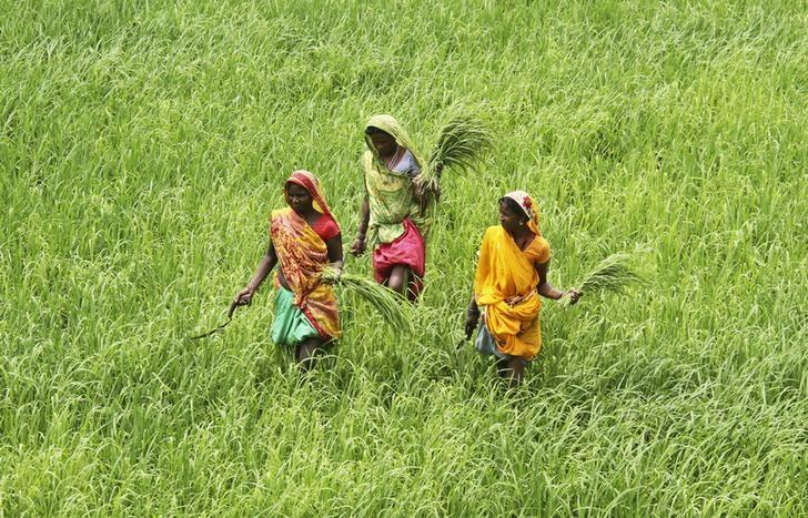 Labourers work in a paddy field at Thaska village in Punjab July 25, 2012. REUTERS/Ajay Verma/Files