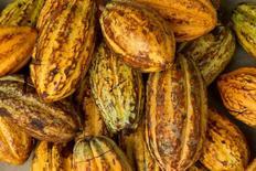 Unos granos de cacao en una granja en Piedra de Plata, Ecuador, jun 4, 2016. Los futuros del cacao en Nueva York cayeron el lunes a su nivel más bajo en más de tres años, después de que un panorama favorable para la cosecha en Costa de Marfil y una posición más cauta de los fondos de inversión ayudaron a rebajar los precios.   REUTERS/Guillermo Granja/File Photo