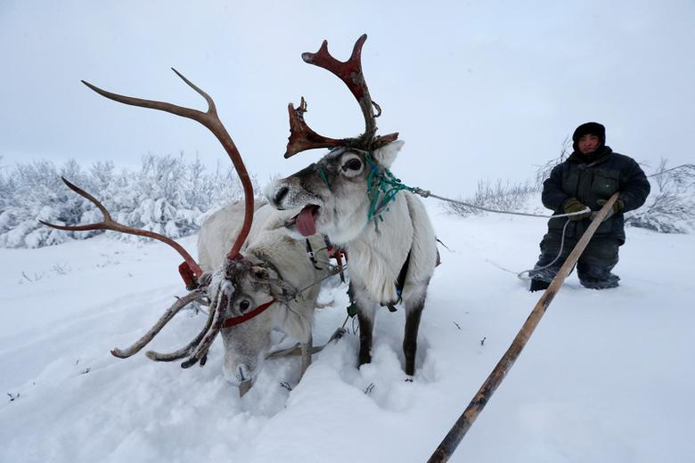 A herder stops for reindeer to have a rest while riding along the tundra area in Nenets Autonomous District, Russia. REUTERS/Sergei Karpukhin
