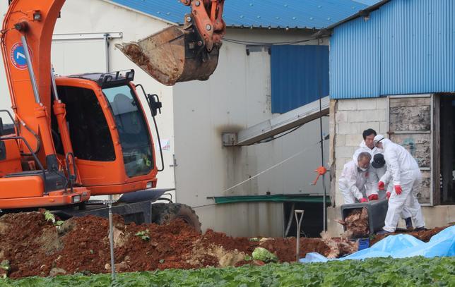 South Korean health officials bury chickens at a poultry farm where the highly pathogenic H5N6 bird flu virus broke out in Haenam, South Korea, November 17, 2016. Yonhap/via REUTERS