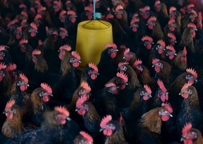 Chickens are seen at a poultry farm on the outskirt of Hefei, Anhui province, China November 20, 2015. REUTERS/Stringer/File Photo