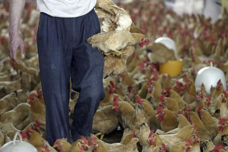 FILE PHOTO - A vendor picks up chickens at a poultry market in Guangzhou, Guangdong province March 17, 2008. REUTERS/Joe Tan (CHINA)