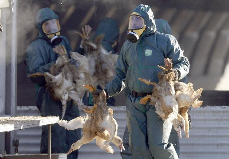 Workers gather ducks to be culled in Latrille, France, January 6, 2017, after France ordered a massive cull of ducks in three regions most affected by a severe outbreak of bird flu as it tries to contain the virus which has been spreading quickly over the past month.    REUTERS/Regis Duvignau