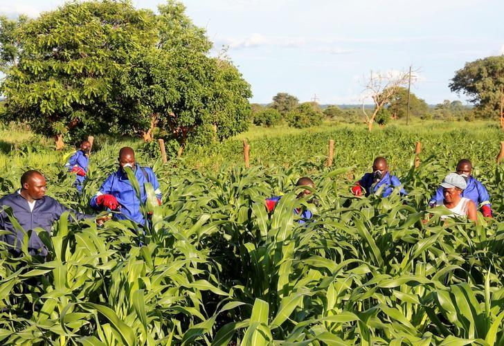 Agricultural officials spray maize plants affected by armyworms in Keembe district, Zambia, January 6, 2017.  REUTERS/Jean Mandela