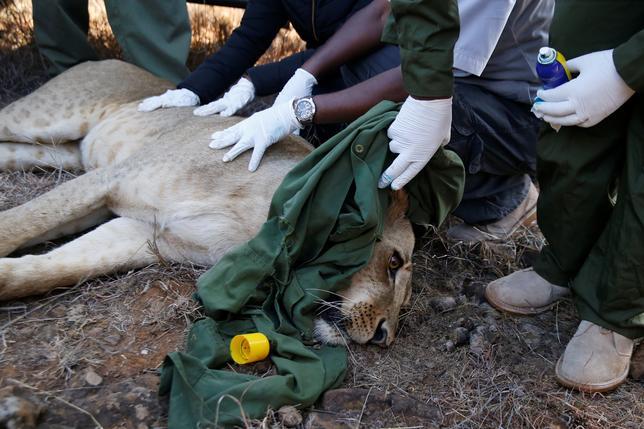 1月23日、ケニアの野生動物当局は、首都近郊の国立公園に生息する36頭のライオンの1頭(写真)に、追跡用発信機を装着した。人との無用な接触を回避する措置として2014年に始まった対策プロジェクトの一環(2017年 ロイター/Thomas Mukoya)