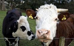 Коровы на ферме под Оклендом 6 августа 2013 года. Россия с 6 февраля вводит запрет на ввоз говядины и говяжьих субпродуктов из Новой Зеландии, сообщила Рейтер пресс-секретарь Россельхознадзора Юлия Мелано. REUTERS/Nigel Marple/Files