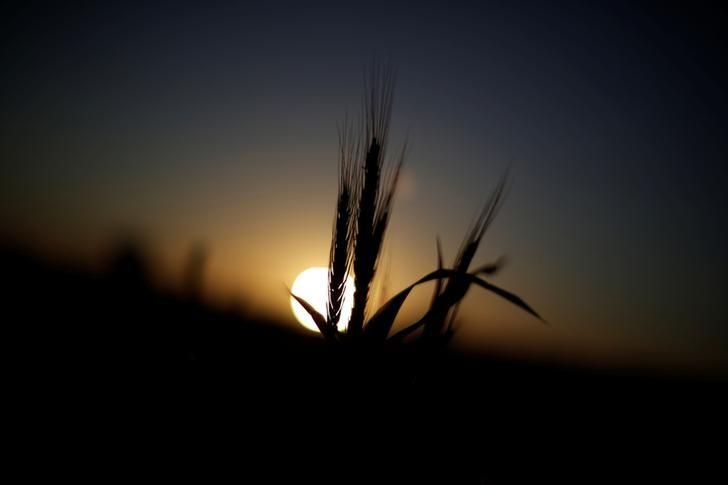 Wheat grows on a farm at sunset in the flooded midwestern New South Wales town of Forbes, Australia September 27, 2016. REUTERS/Jason Reed