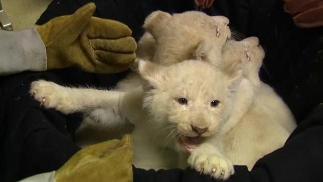 2月6日、ドイツのマグデブルク動物園で、昨年のクリスマスに生まれた4匹のホワイトライオンの赤ちゃんがメディアに公開された。写真はロイタービデオの映像から(2017年 ロイター)